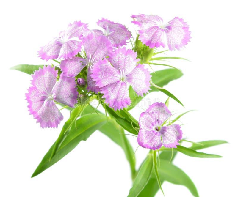 Flores dulces rosadas de Guillermo aisladas en el fondo blanco imagenes de archivo