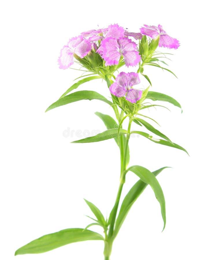 Flores dulces rosadas de Guillermo aisladas en el fondo blanco foto de archivo