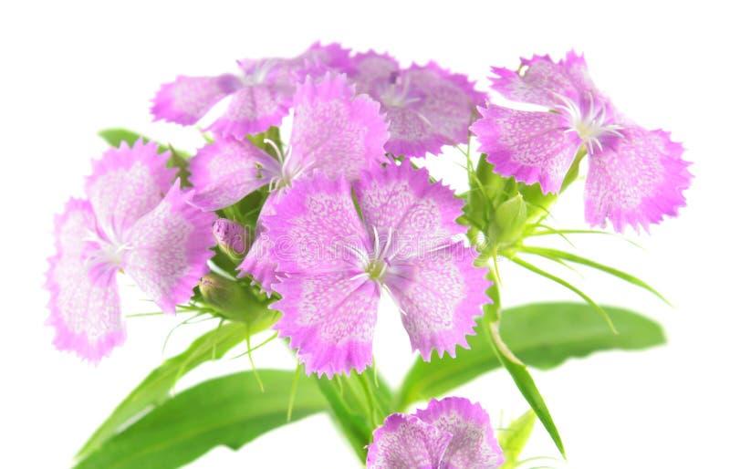 Flores dulces rosadas de Guillermo aisladas en el fondo blanco imágenes de archivo libres de regalías