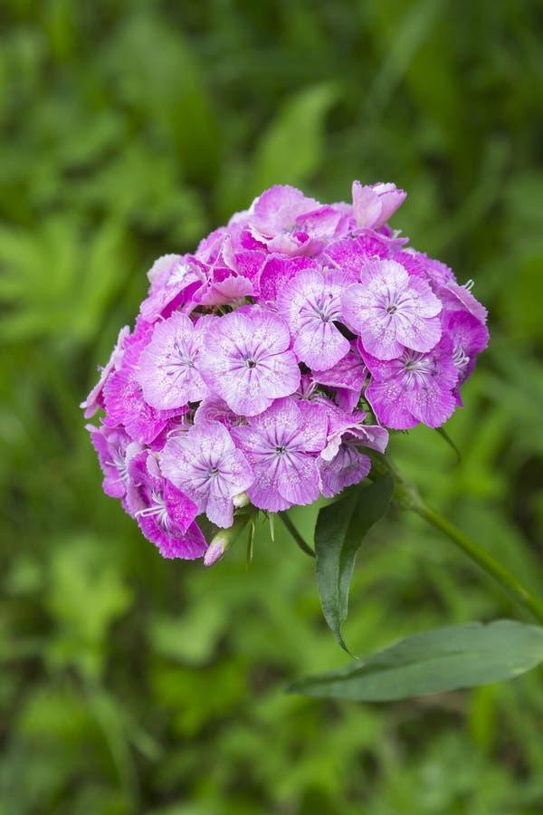 Flores dulces rosadas de Guillermo en el jardín Flor del barbatus del clavel que florece en primavera, verano y otoño Diseño del  foto de archivo