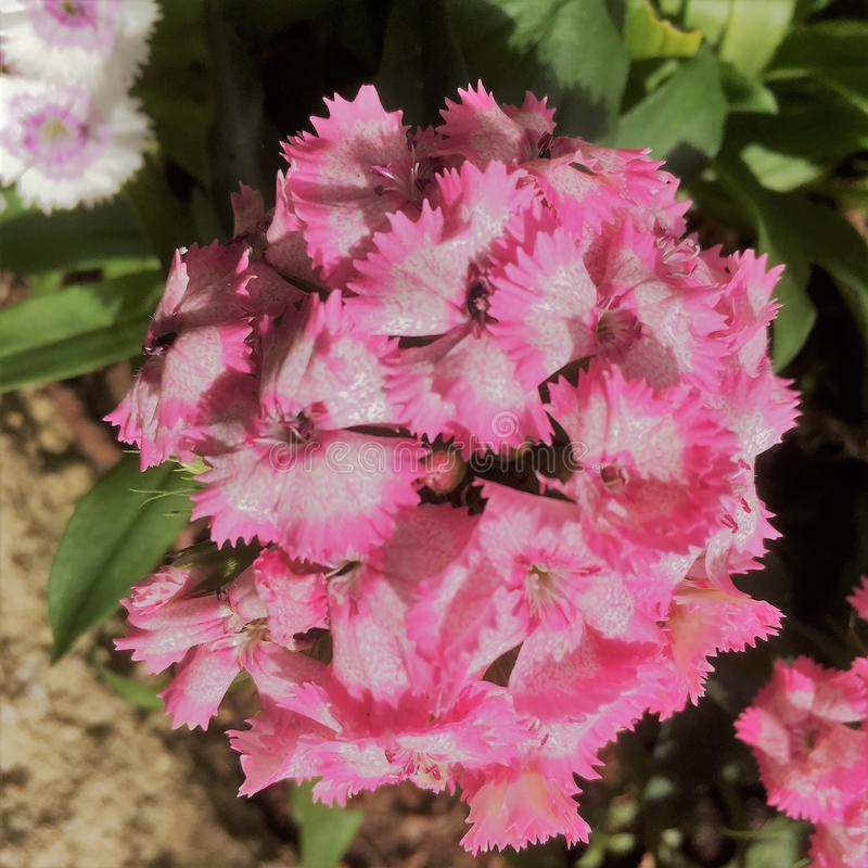 flores dulces rosadas de Williams fotografía de archivo