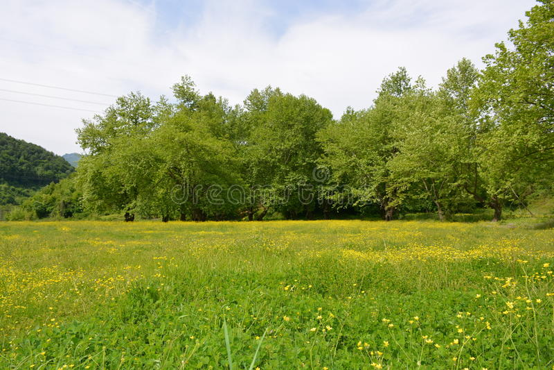 Flores e árvore amarelas da mola em Turquia fotografia de stock