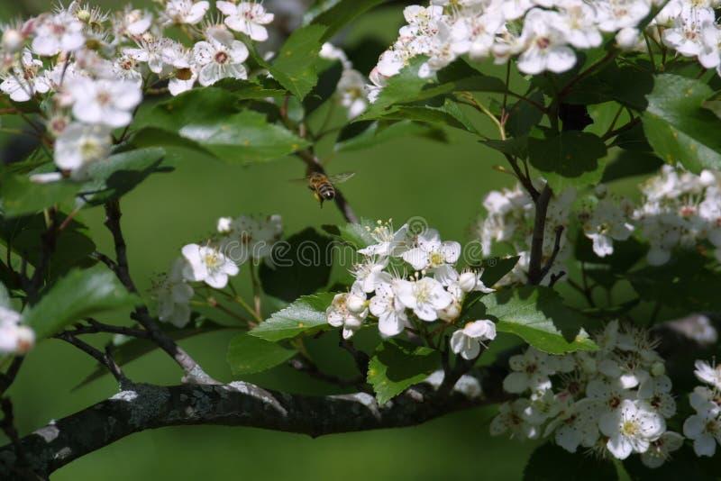 Flores e abelhas 2019 mim imagem de stock