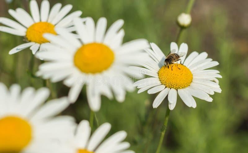 Flores e as abelhas imagens de stock royalty free