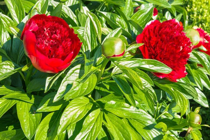 Flores e botão vermelhos da peônia na flor imagem de stock royalty free