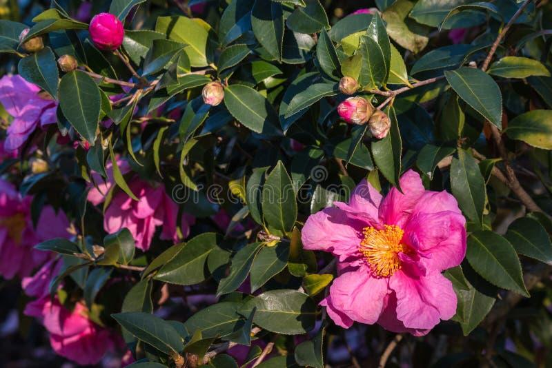 Flores e botões cor-de-rosa da camélia imagens de stock