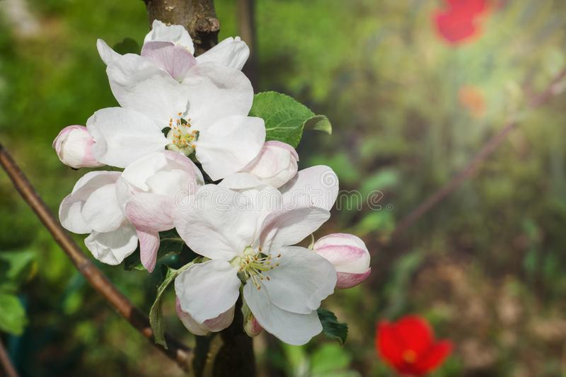 Flores e botões de árvores de Apple na primavera Foco seletivo imagem de stock royalty free