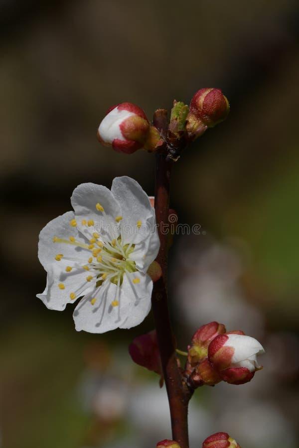 flores e botões Neve-brancos do jardim sakura na mola adiantada imagem de stock royalty free