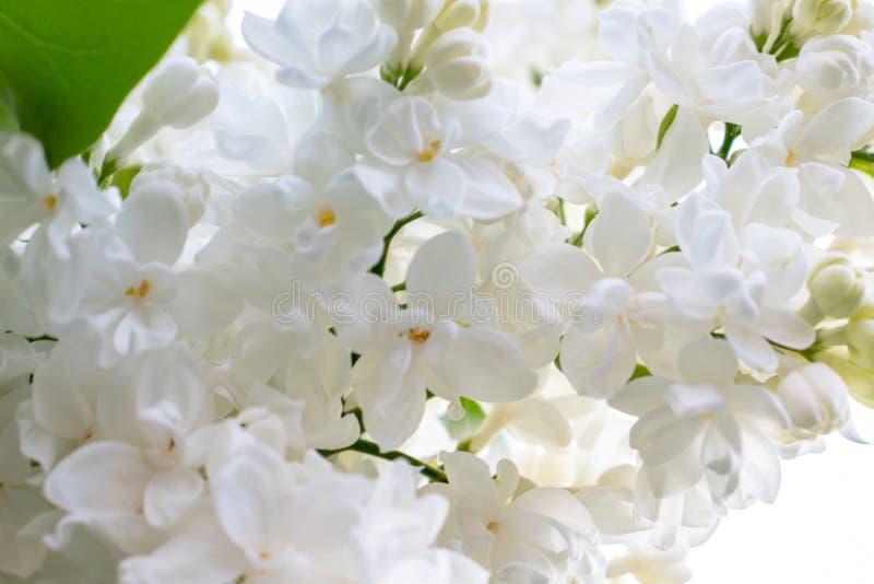 Flores e bot?es lil?s brancos delicados macios no fim do dia ensolarado da mola acima fotos de stock