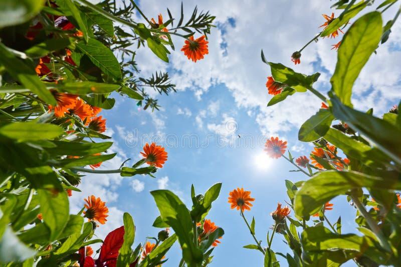 Flores e céu do Calendula fotos de stock royalty free