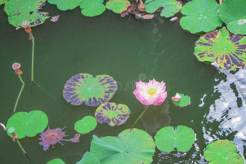 Flores e folhas l?tus sagrados ou do nucifera colorido do Nelumbo que florescem na lagoa de ?gua fotos de stock