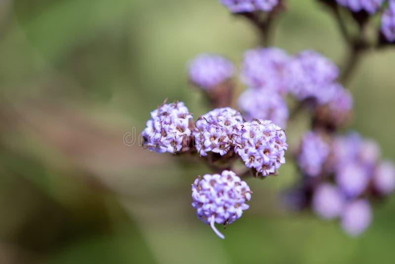 Flores e folhas pequenas de plantas selvagens do campo em Uruguai imagens de stock