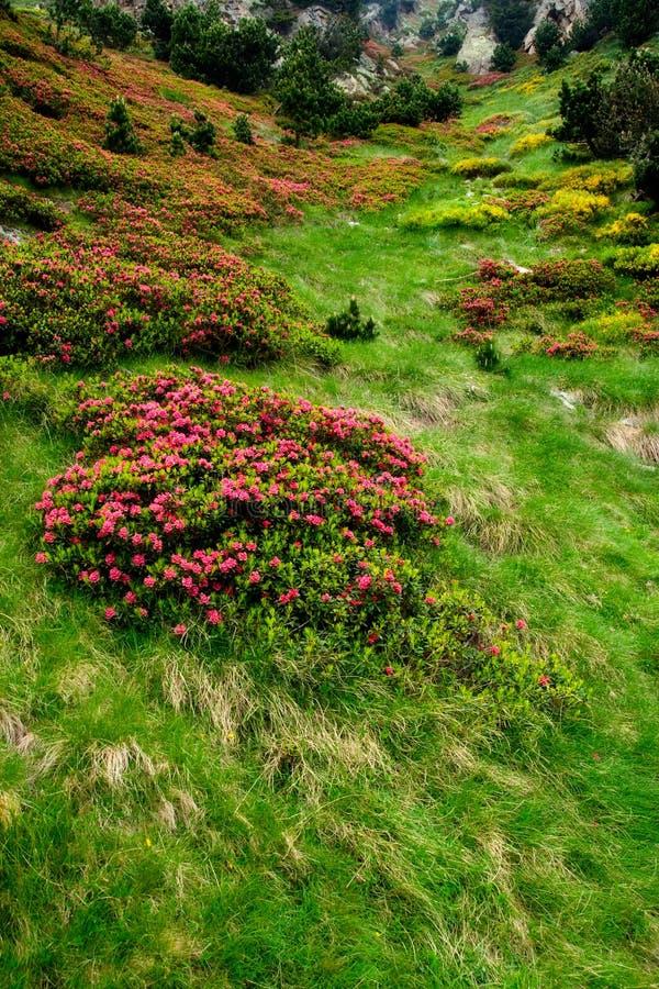 Flores e hierba en Vall de Nuria, pyrenes, España fotografía de archivo libre de regalías