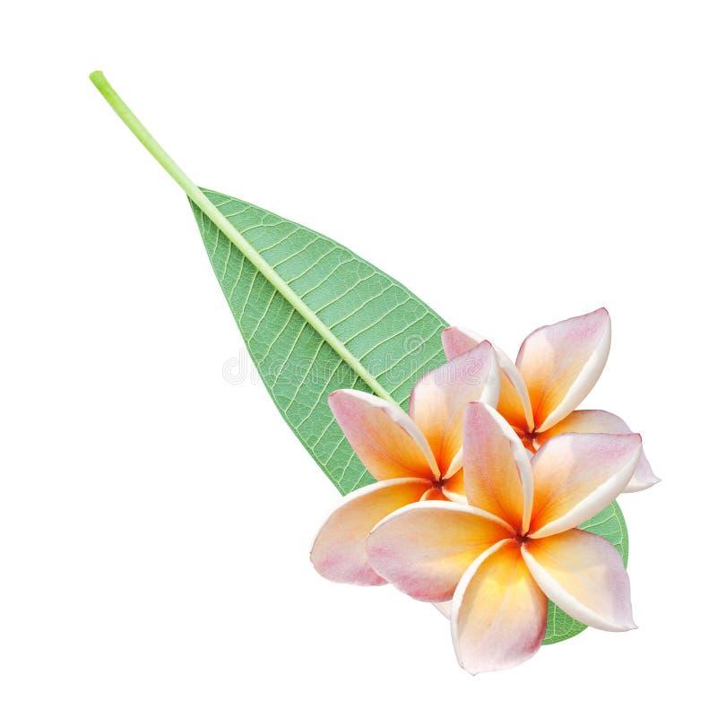 Flores e licença do Plumeria imagens de stock