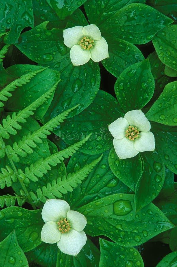 Flores e pingos de chuva do Bunchberry foto de stock