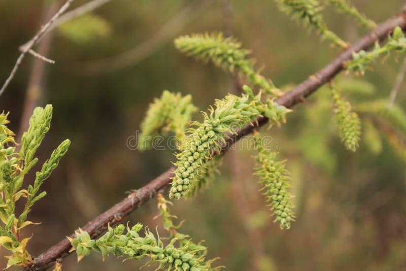 Flores e ramos da árvore do sp do Tamarix imagem de stock