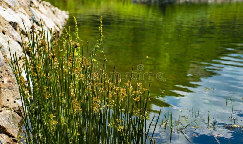 Flores e rocha no lago verde fotos de stock royalty free
