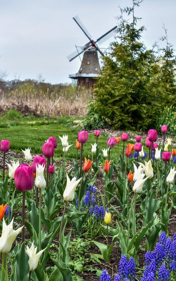 Flores e tulipas da mola com um moinho de vento no fundo imagem de stock