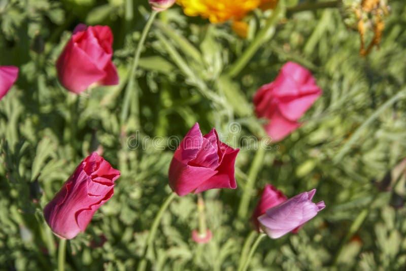 Flores em botão cor-de-rosa brilhantes em um fundo verde Foco seletivo foto de stock royalty free
