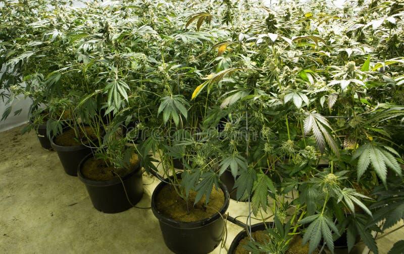 Flores em botão da marijuana fotos de stock