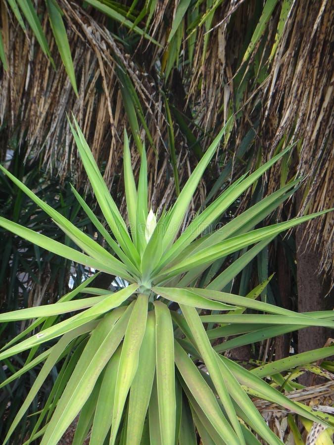 Flores em botão da planta da mandioca fotografia de stock