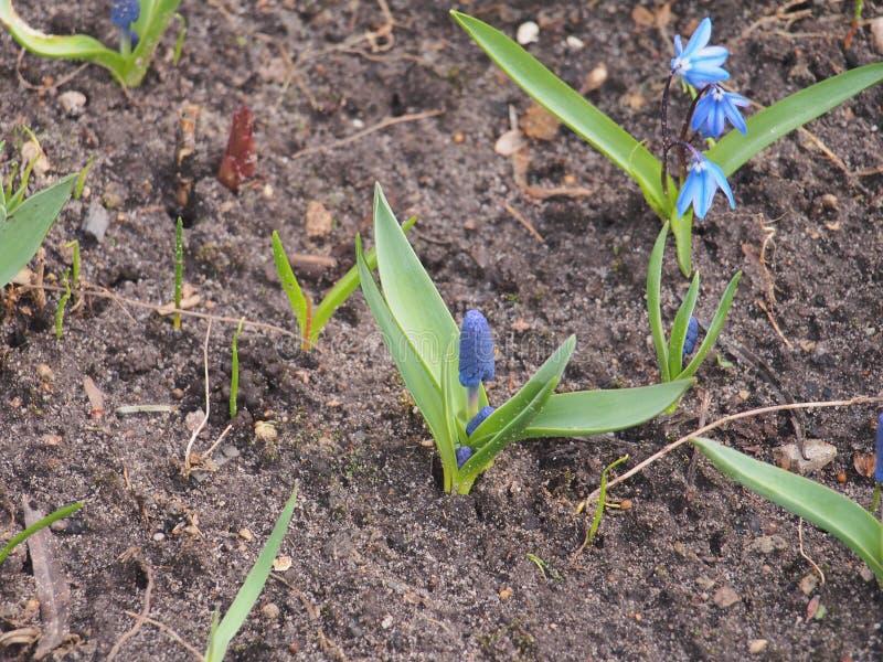 Flores em botão de ÐBlue do jacinto Apenas chovido sobre Jardinagem foto de stock royalty free