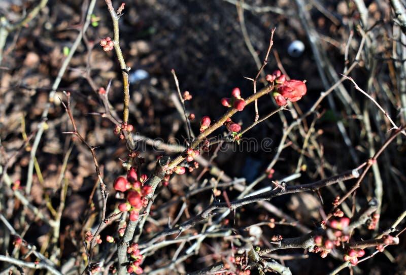 Flores em botão do Chaenomeles Japonica, conhecidas como o marmelo de Maule no parque fotos de stock