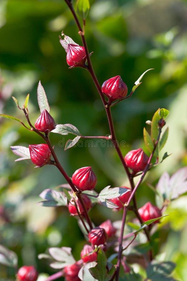 Flores em botão do hibiscus imagem de stock