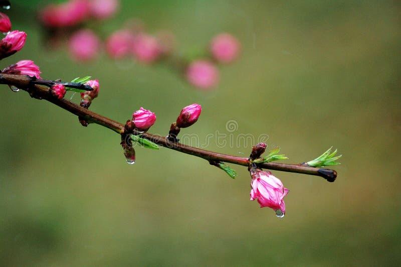 Flores em botão do pêssego após a chuva imagens de stock
