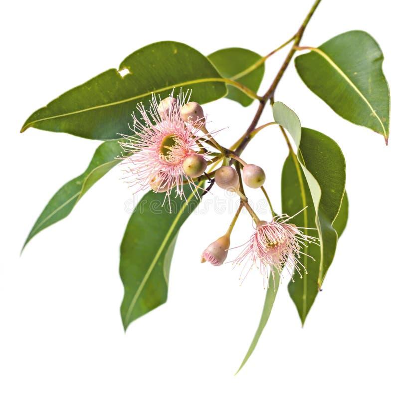 Flores em botão e folhas cor-de-rosa do eucalipto isoladas no branco imagem de stock