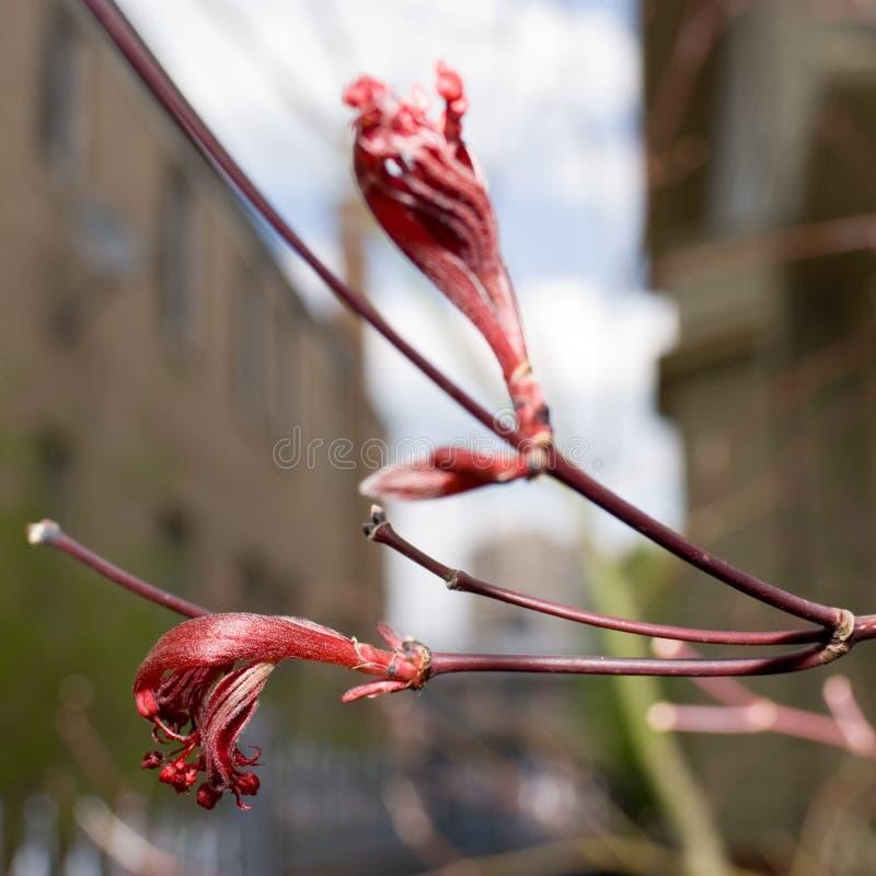 Flores em botão vermelhas foto de stock