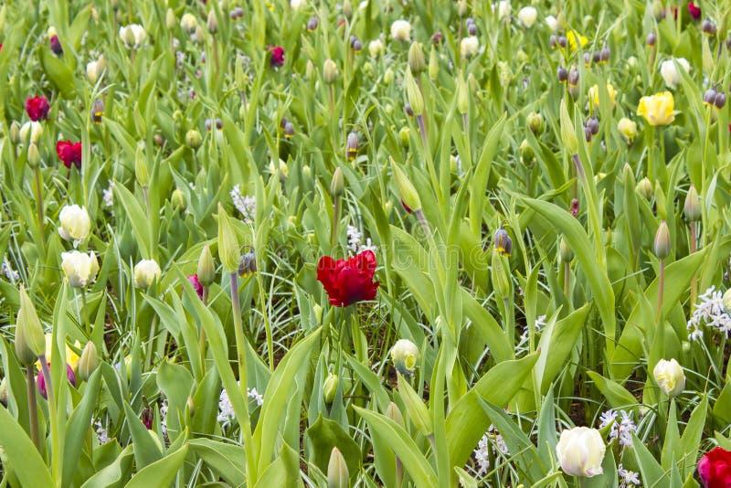 Flores em Keukenhof, Países Baixos foto de stock royalty free