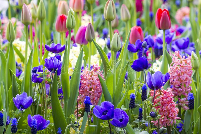 Flores em Keukenhof, Países Baixos imagem de stock royalty free