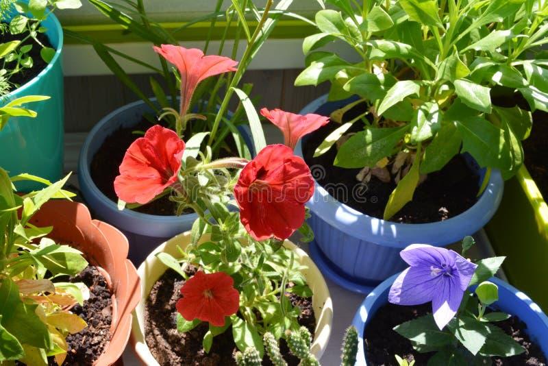 Flores em pasta no jardim urbano pequeno no balcão Petúnia vermelho e platycodon violeta, folhas verdes do osteospermum em uns po fotografia de stock