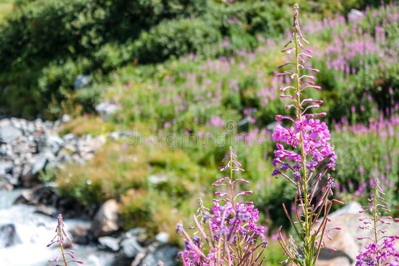 Flores em um rio pequeno em um vale alpino imagens de stock