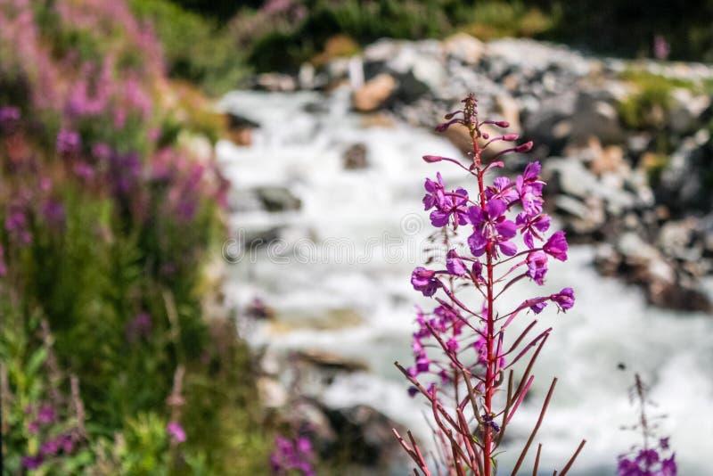 Flores em um rio pequeno em um vale alpino foto de stock royalty free