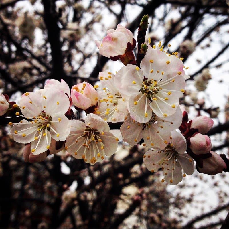 Flores en el albaricoque del árbol fotografía de archivo