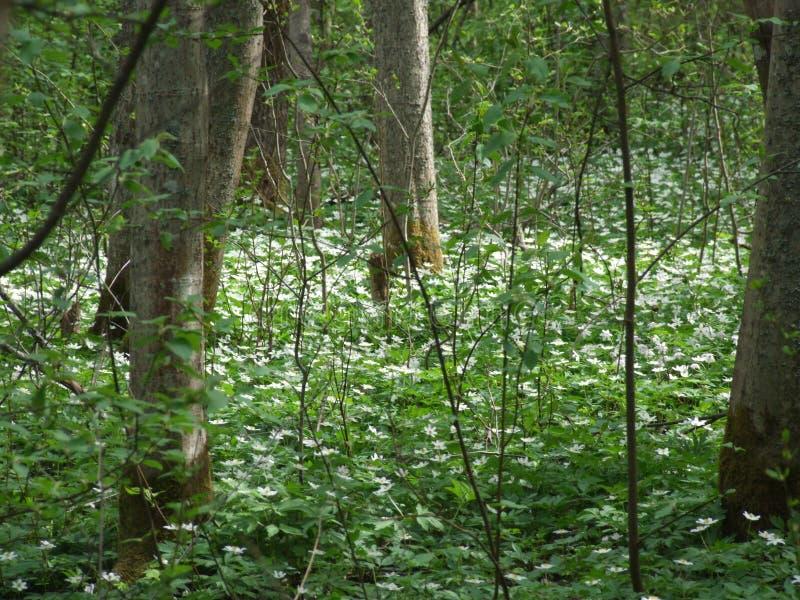 Flores en el bosque en primavera imagen de archivo libre de regalías