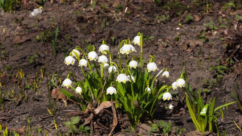 Flores en el copo de nieve o el primer floreciente del vernum del leucojum, foco selectivo, DOF bajo de la primavera imágenes de archivo libres de regalías