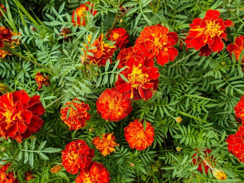 Flores en el jardín Flores de Tagetes en jardín foto de archivo