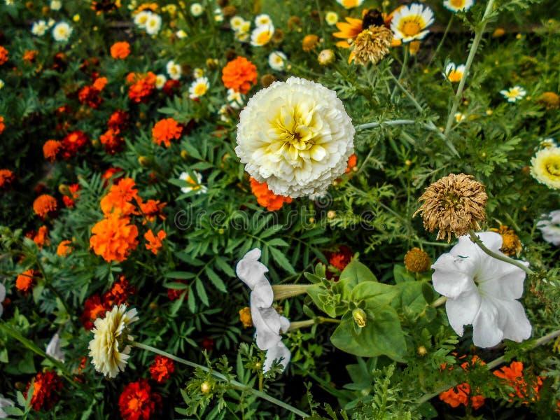 Flores en el jardín flor del zinnia, Zinnia Elegans, flores de Tagetes en jardín imagen de archivo libre de regalías