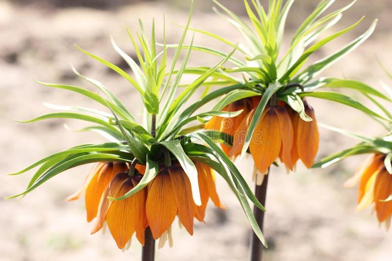 Flores en el jardín Flor real de la corona imagen de archivo libre de regalías