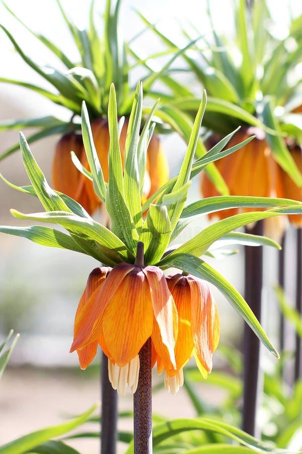 Flores en el jardín Flor real de la corona fotografía de archivo