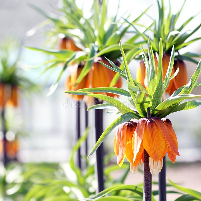Flores en el jardín Flor real de la corona imagenes de archivo
