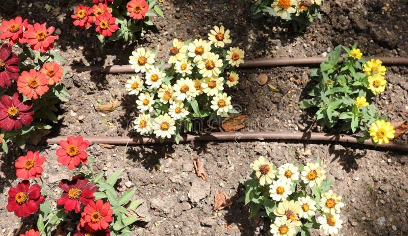 flores en el jardín y tubos del sistema de irrigación fotos de archivo