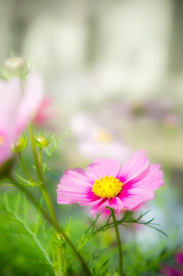 Flores en el parque, flores rosadas del cosmos en el jardín fotografía de archivo