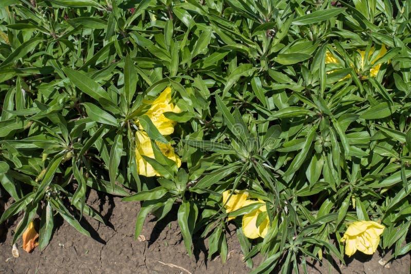 Flores en forma de platillo anchas grandes del amarillo amarillo de la onagra de Missouri fotografía de archivo libre de regalías