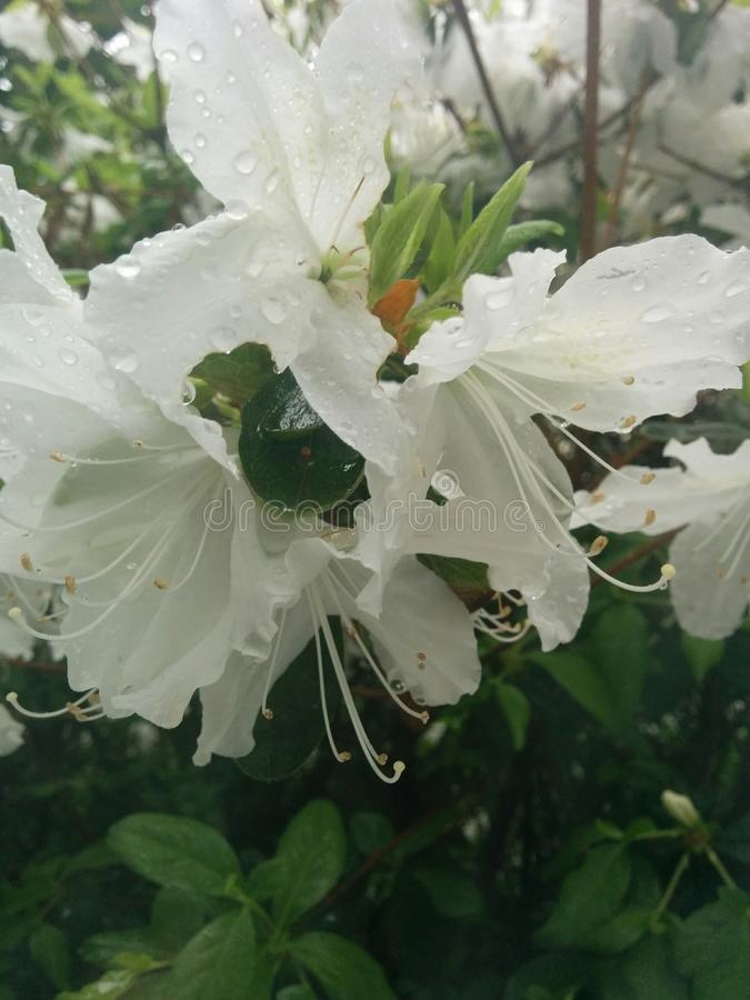 Flores en lluvia fotografía de archivo libre de regalías