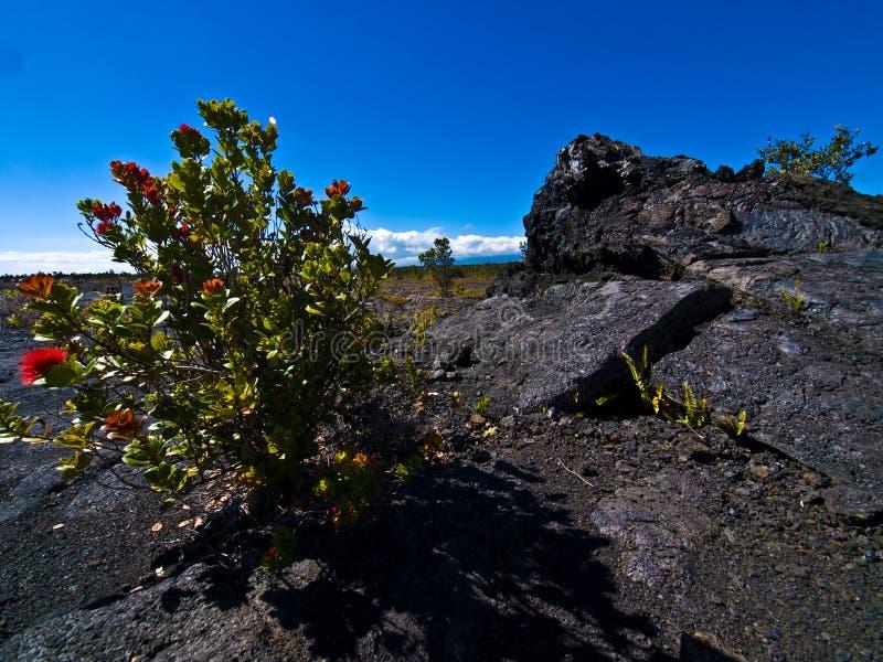 Flores en un desierto de la lava fotos de archivo libres de regalías