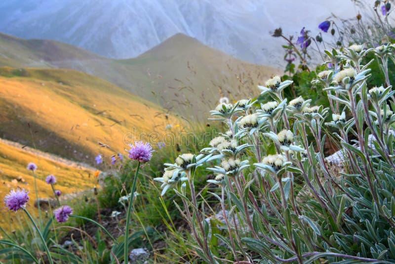 Flores en una cuesta alpestre imagen de archivo